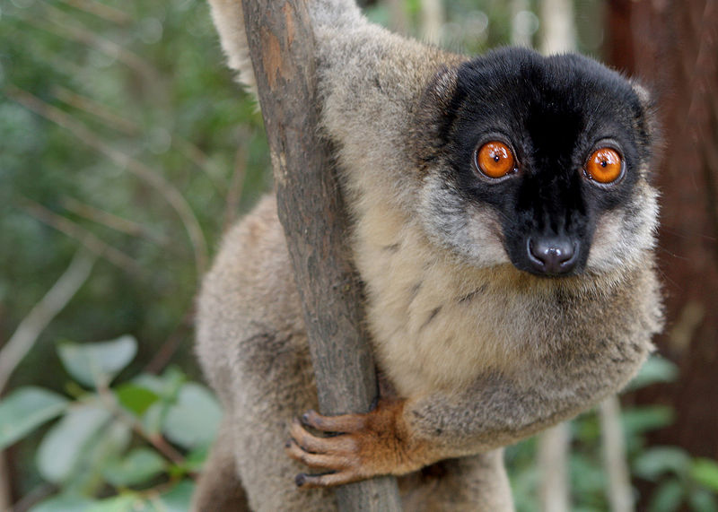 800px-Brown_Lemur_in_Andasibe