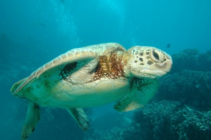 Protected species of marine turtle could be in danger