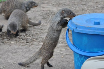 Mischievous mongooses try to help themselves to food. Credit: Emma Inzani