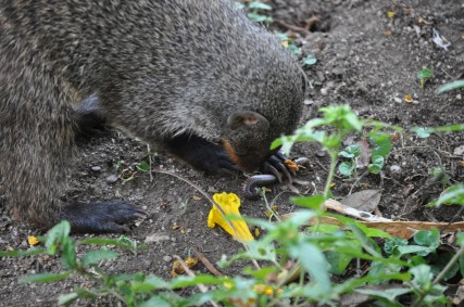 When mongooses find a millipede they roll it on the ground first to remove the defensive toxins. However, they ignore brightly coloured millipedes that are above ground as they are too poisonous.