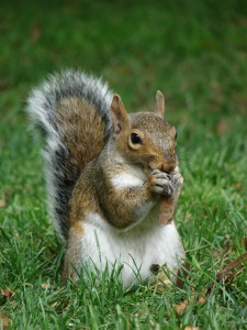 Grey squirrels spend a lot of time foraging on the ground