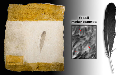 the fossil feather, imprints of melanosomes (pigment structures), and reconstruction of the matte black feather. Fossil image courtesy Museum für Naturkunde Berlin