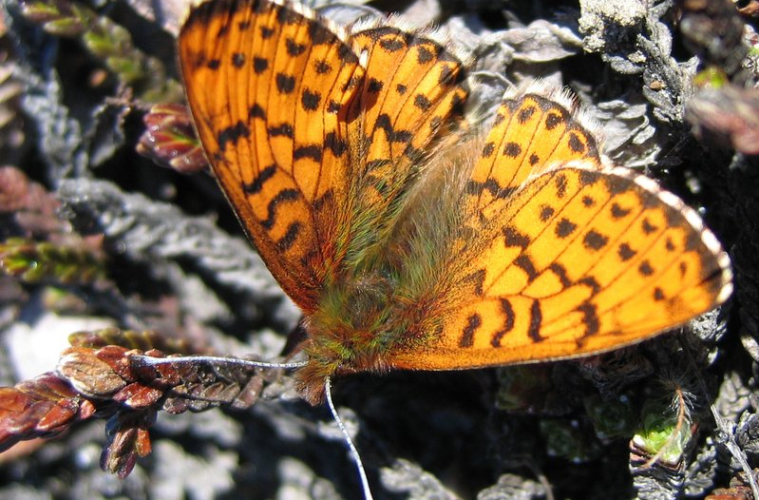 Arctic fritillary (Boloria chariclea) is one of the two species that have become smaller due to climate change.  (Photo: Toke T. Høye)