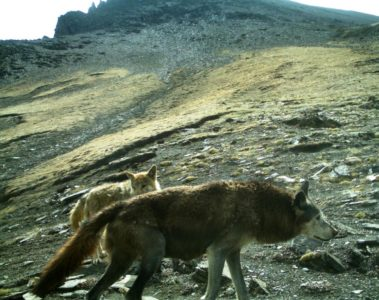 A pair of Himalayan wolves in their natural habitat.