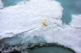 Polar bears swim further to find refuge