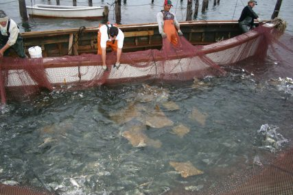 It is unknown how many cownose rays are caught as bycatch on top of the ray fishery itself. © Virginia Sea Grant/Flikr