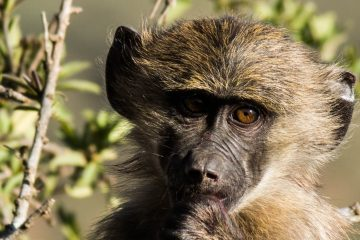 Female baboons affected by early life trauma
