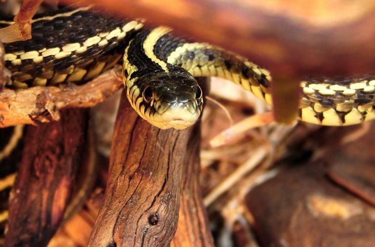 Evolutionary arms race between newt and snake
