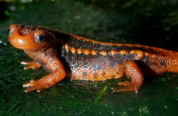 Illegal pet trade threatens newts