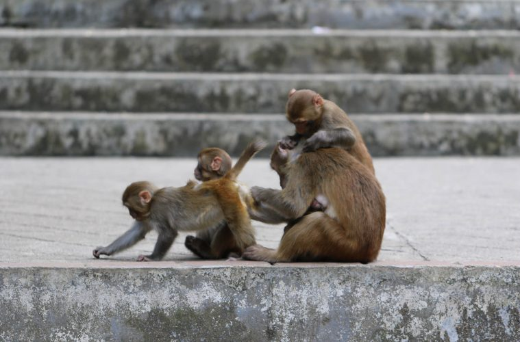 infant macaques, mother macaque