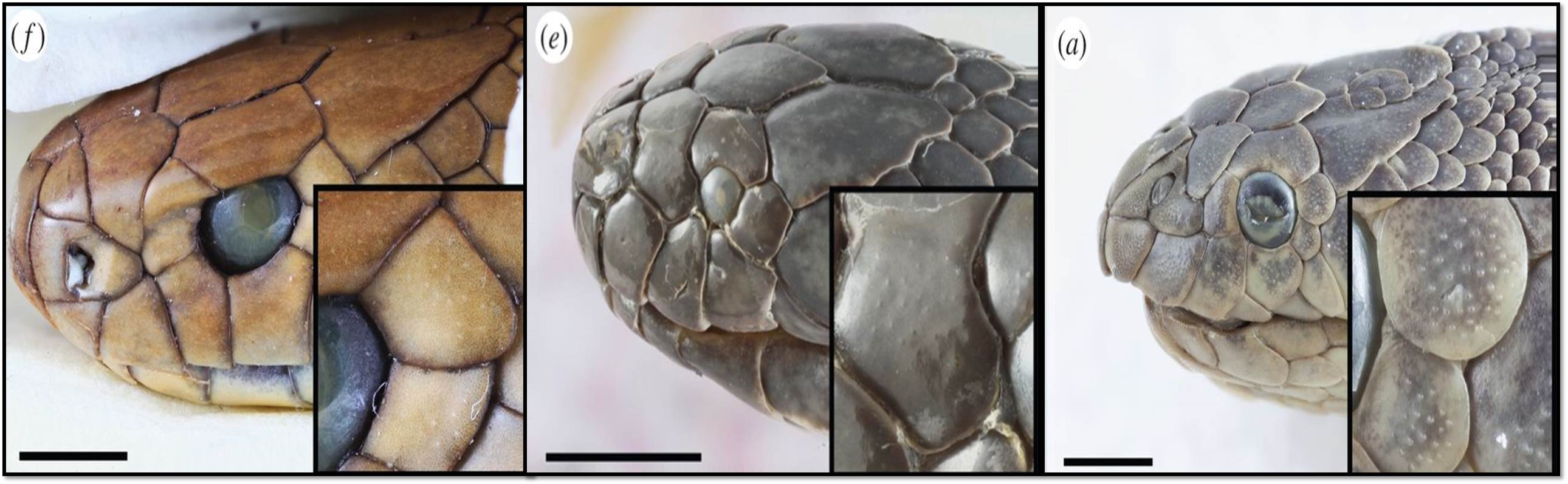 sea snakes, evolution, scales,
