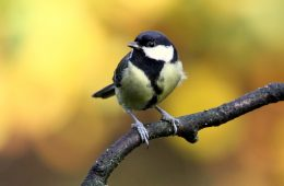 Higher stress levels for urban great tits can spell disaster.
