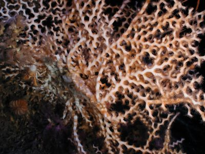 Madrepora oculata, one of the main cold-water coral species around the Darwin Mounds @ NOAA/Flickr