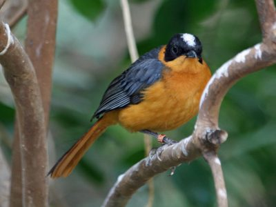 Snowy-crowned Robin-chats are among the highly specialised species that still struggle to recover. © San Diego Zoo