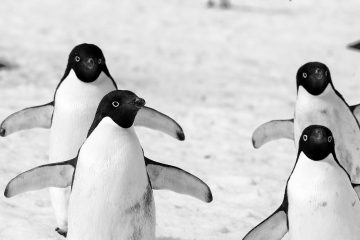 Climate change penguins in peril