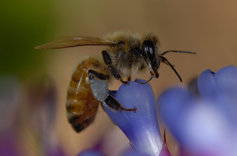Honeybee sperm suffer at hands of contraceptive insecticides