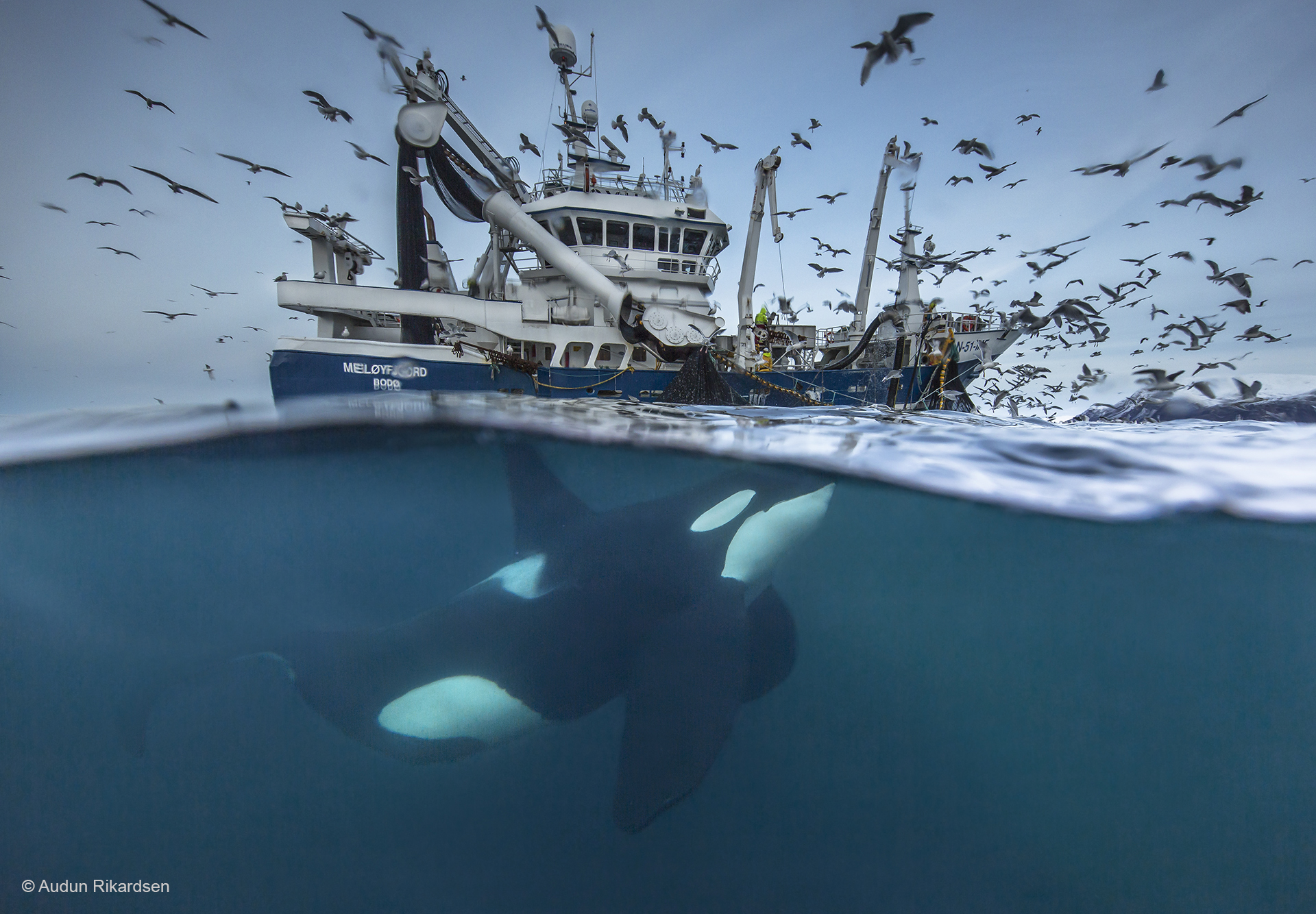"""Some fishermen may use the whales to localize the herring shoals. Likewise, many whales have during the years learned the sounds from specific fishing boat when they retrieve their fishing gear, and thereby seek to the boats with the hope to get a """"free meal"""". This is seemingly a win-win-situations for both parties, but some whales also actively tries to steal the fish form the fishing gear, which can in some cases destroy both the fishing gear and the herring caches. This has led to a debate about the fishing quotas and the interactions between whales and fishing boats. These interactions have also lead to an increasing number of accident where the whales have been entangled in the fishing gear. I developed my own underwater housing to be able to take split pictures like this under very low light conditions. Ordinary underwater housings for split pictures will not work due to several optical challenges during low light conditions. (some dust/ flare due to salt crustal on the underwater housing glass is removed in the digital post-processing). Canon 5DIII, Canon 11-24 f4; 1/200 sec; f/6,3; ISO 640, self made underwater housing, Lee filter 1.2."""