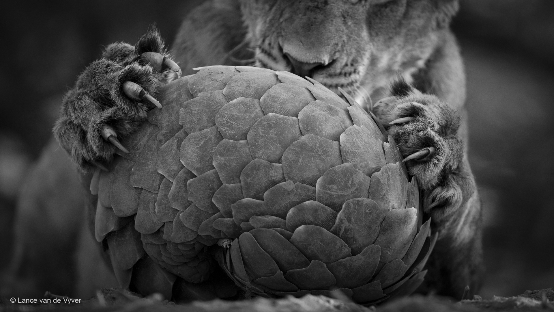 A young lion tries to figure out a way through a pangolins defences.
