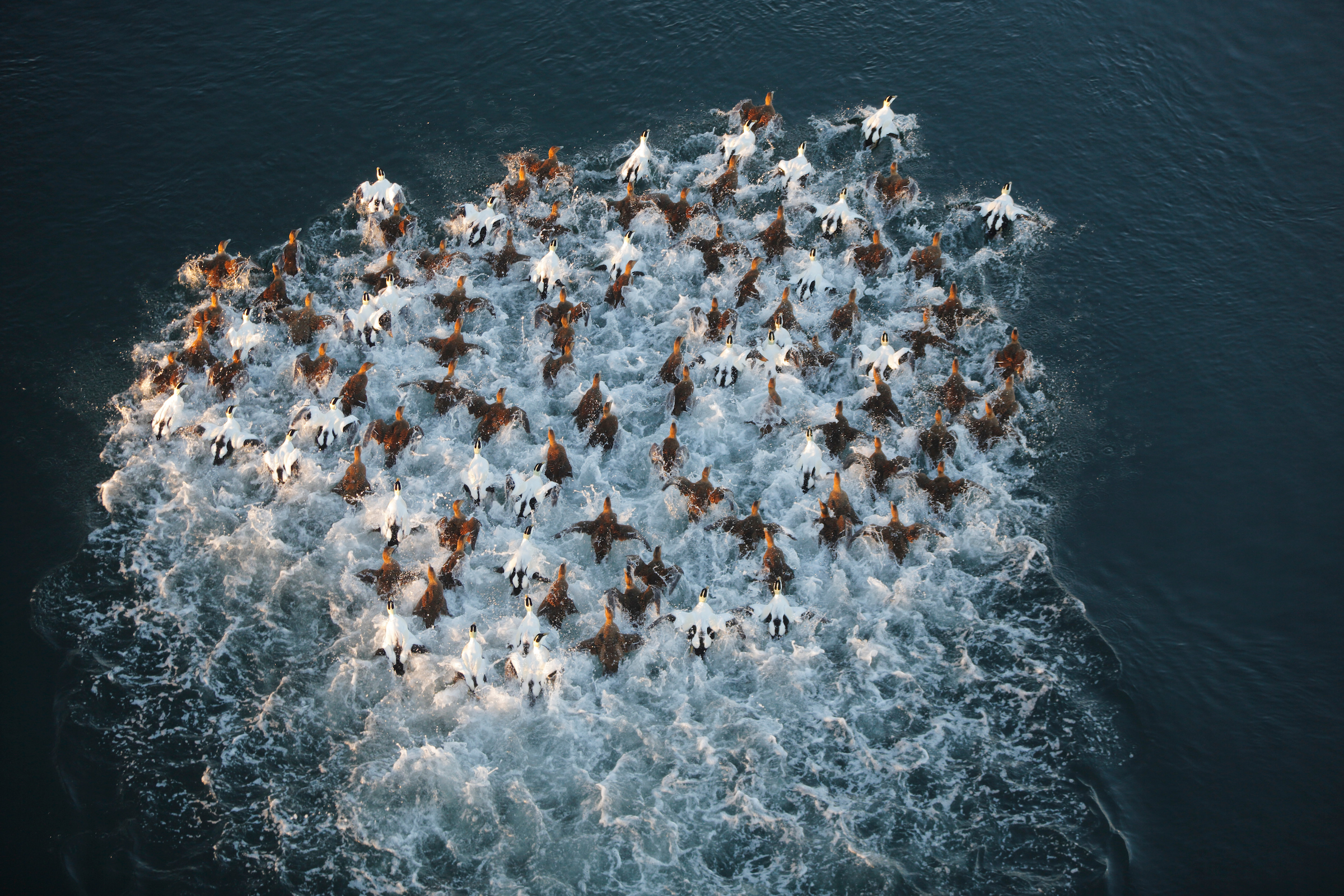 eider ducks in anti- predator formation. a swimming otter came by