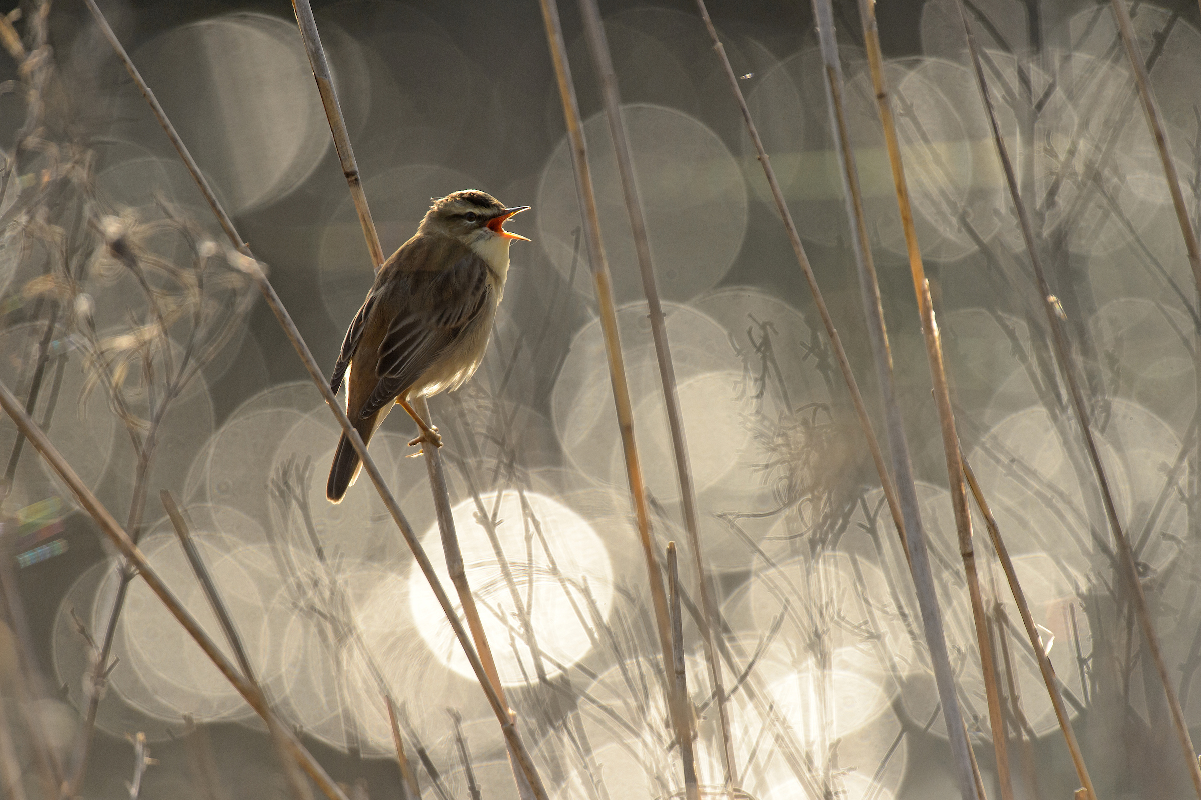 Sedge warbler (Acrocephalus scoenobaenus) singing in reedbed in early morning. Norfolk, UK. May 2015. Nikon D4S, AF-S Nikkor 500mm f4 lens, TC-14EII teleconverter, tripod. 1/5000s @ f5.6, ISO 640.