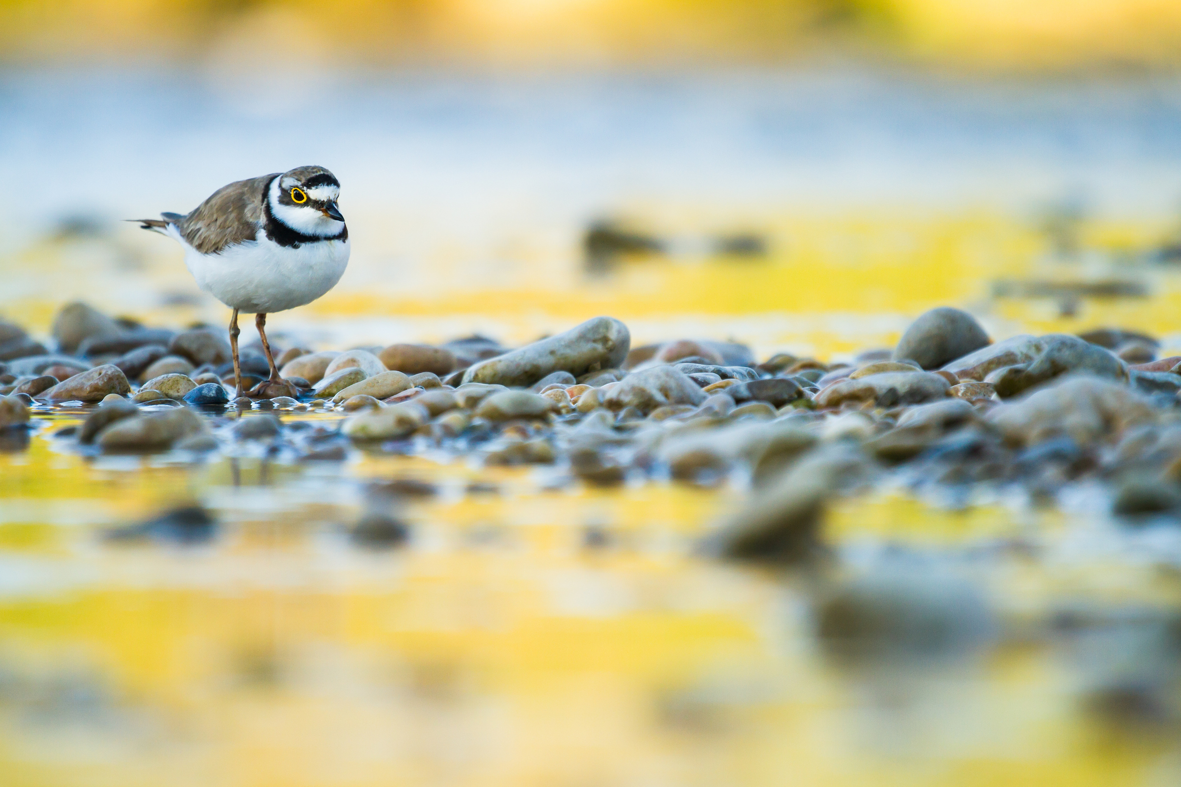 Bird Photographer of the Year Awards 2015 Caption: Little ringed plover Category: Birds in the Environment Photographer: Marc Albiac Taken on: 22/6/2013 Email: marcalbiac@gmail.com Address: Paseo Doctor Moragas, 157, 2-1, Barbera del valles, Spain, 08210, Spain Telephone: +34 636058702 Description: Little ringed plover in its environment, the river. Date: 2013-06-22 Location: Aragón, Spain I give my permission for this photograph to be added to the bto archive: true I confirm that this is not a captive bird: true