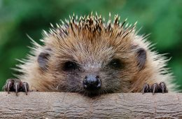 Urban hedgehogs are declining more slowly than their rural counterparts
