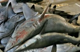 Red Sea sharks decimated by overfishing