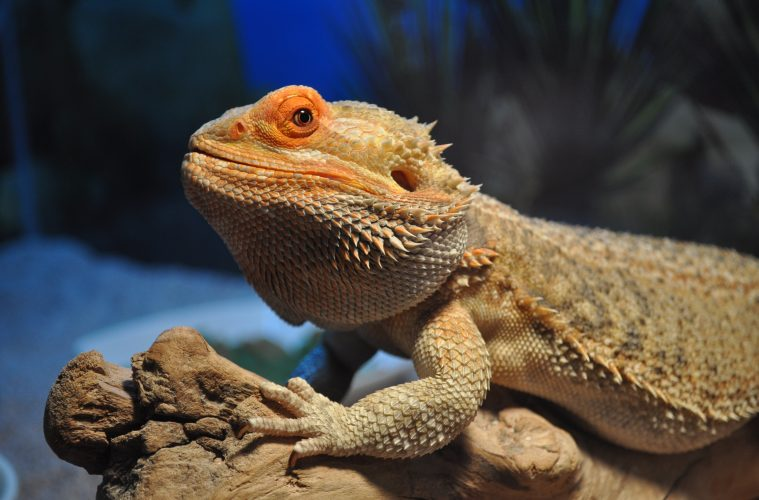 bearded dragon personality