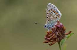 Drone butterfly conservation
