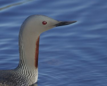 The red-throated diver is one of the species strongly displaced by offshore wind farms. © Gregory Smith/Flickr