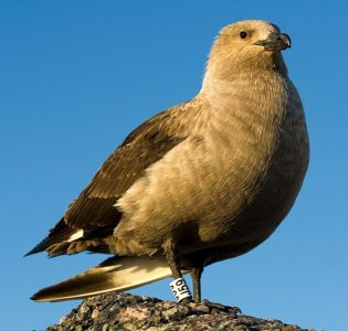 South polar skua Wikimedia Commons