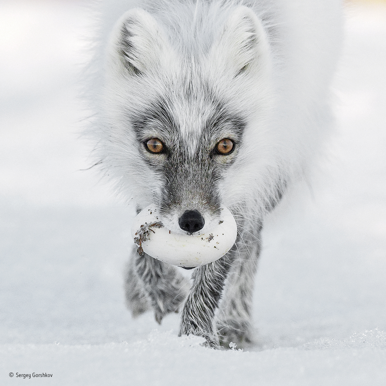 Russia, Wrangel Island, The Arctic fox with an egg