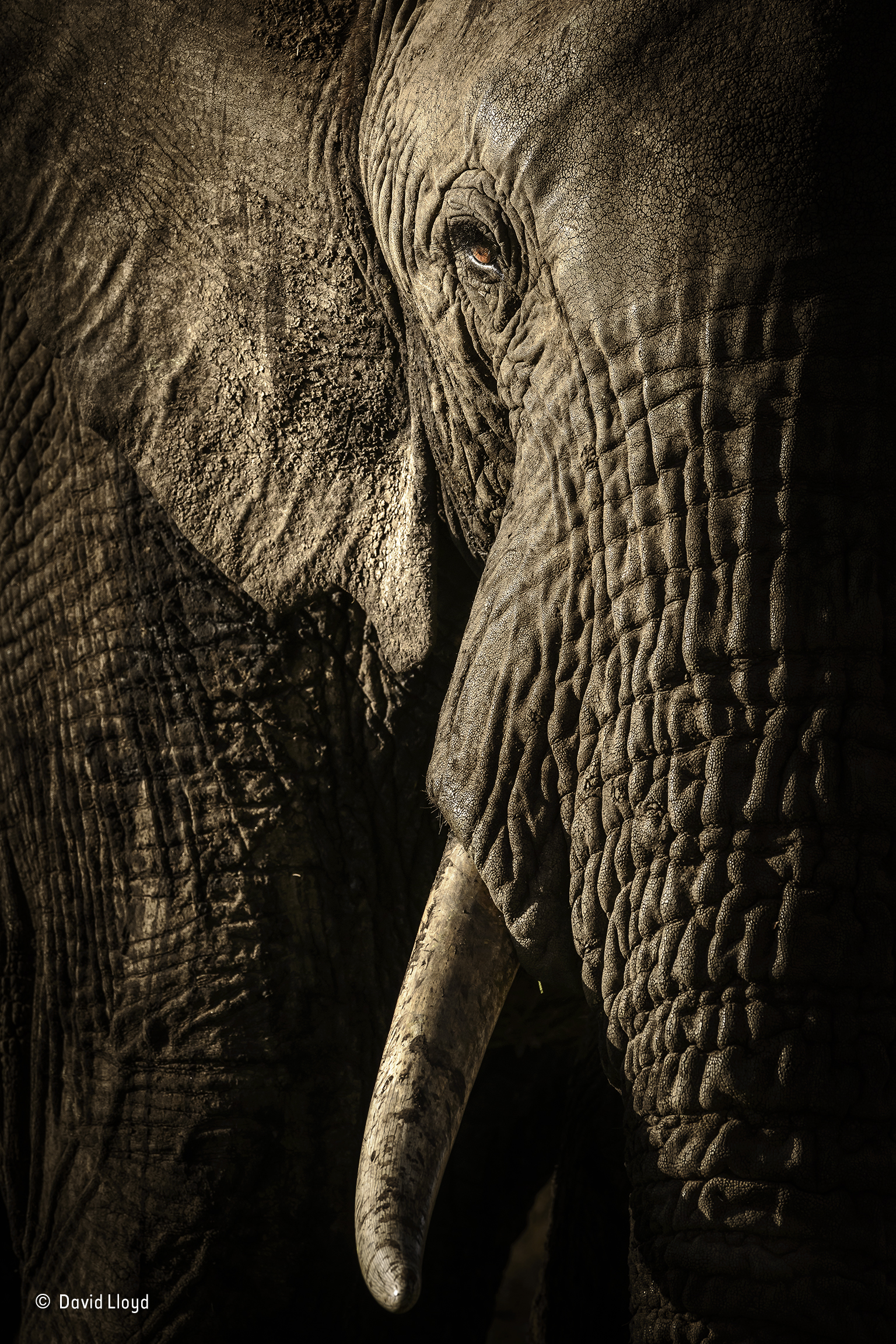 At dusk, in Kenya's Maasai Mara National Reserve, David waited for the herd of elephants on their evening trek to a waterhole. As they got closer to his vehicle, he could see that the mellow light from the fast-setting sun was emphasizing every wrinkle and hair. For a photographer who enjoys working with texture, this was a gift. When they were just a few metres away, he could see the different qualities of different parts of their bodies – the deep ridges of their trunks, the mud-caked ears and the patina of dried dirt on their tusks. The elephants ambled by in near silence, peaceful and relaxed. The female leading the dozen-strong herd – probably the matriarch – looked straight at him, her eye a glowing amber dot in the heavy folds of skin. Her gaze was, he says, full of respect and intelligence – the essence of sentience. Nikon D800E + 400mm f2.8 lens; 1/500 sec at f13 (–0.3 e/v); ISO 1000.