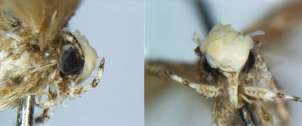 Close_up_photograph_of_the_Head_of_a_Male_Neopalpa_donaldtrumpi
