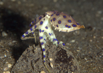Southern blue-ringed octopus females lay a single clutch with a small number of eggs, making them the perfect study candidates. © Jack/Flickr