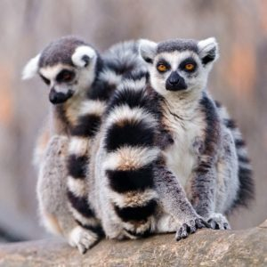 ringtail lemur pair