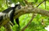 Black_and_white_colobus_monkey_(13945312952)