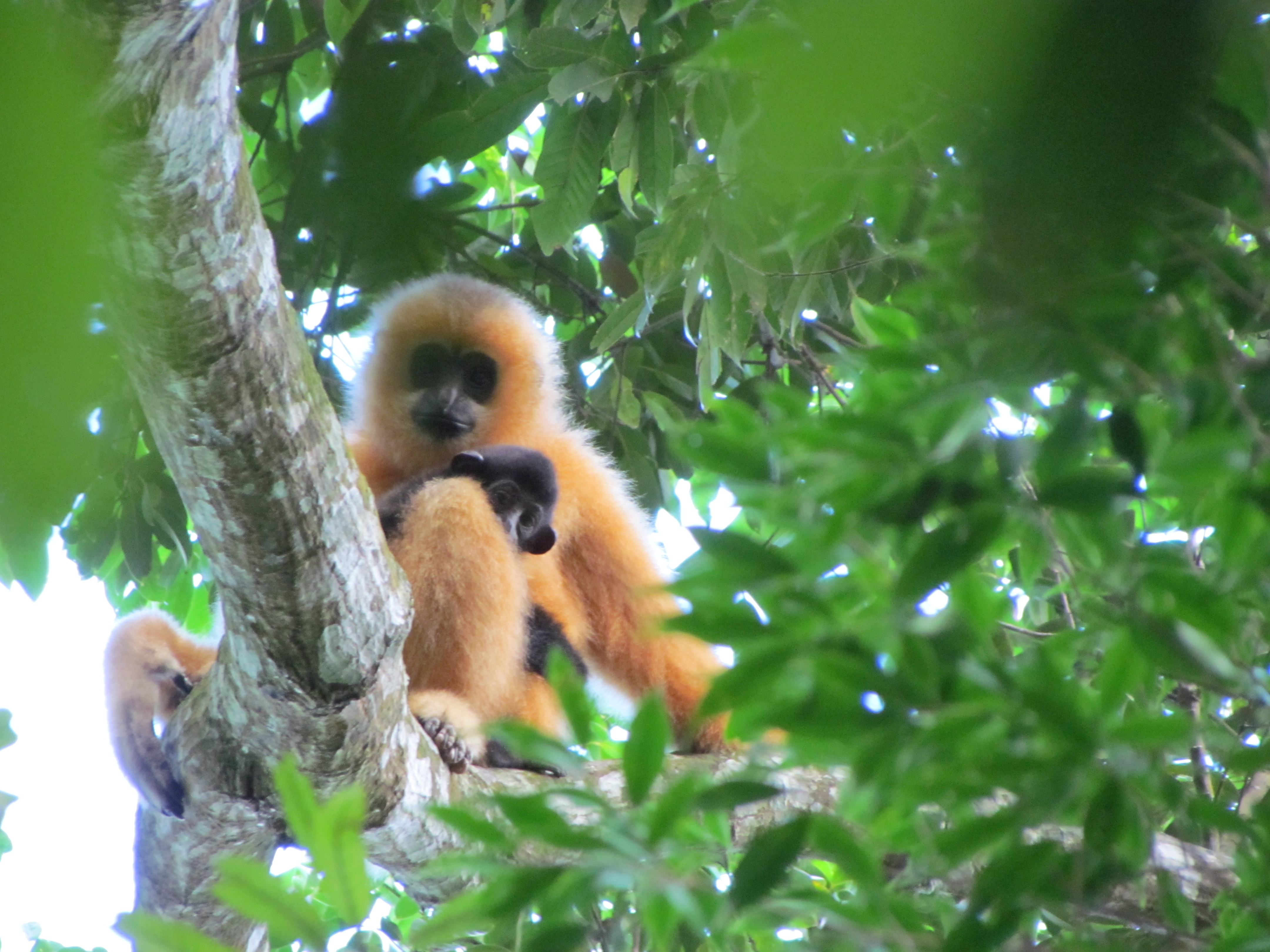 Hainan gibbon female with infant (c) Jessica Bryant ZSL
