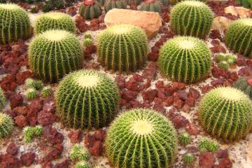 zz_Cacti wikimedia