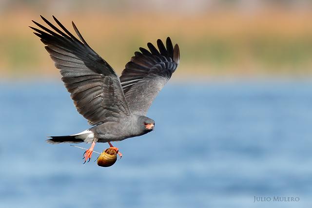Endangered snail kite
