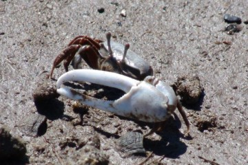 Fiddler crabs bluff about their claws