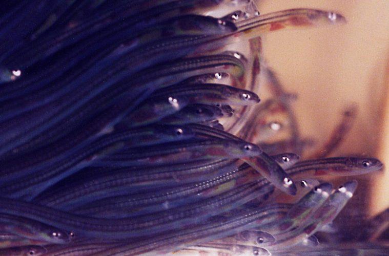 Eel migration. European eels make a great escape