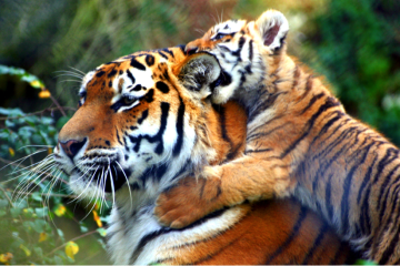 Global tiger numbers on the rise?