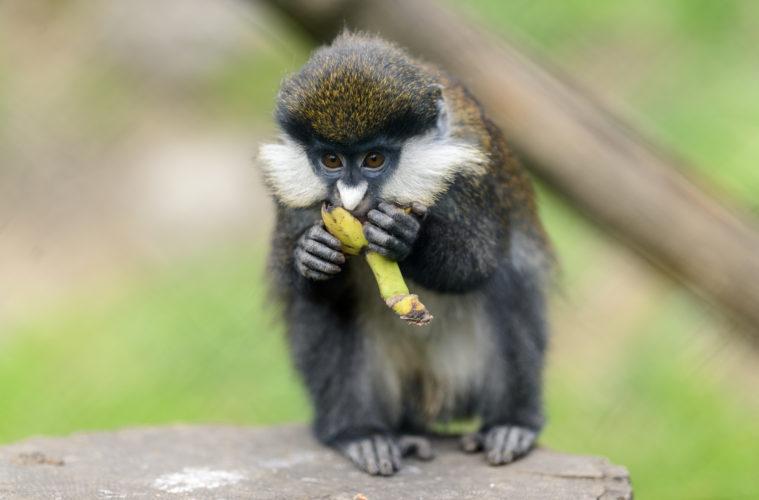 Smell of ripe fruit dinner bell for monkeys
