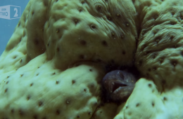 Pearlfish sea cucumber video