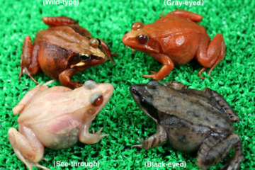 Introducing see-through frogs