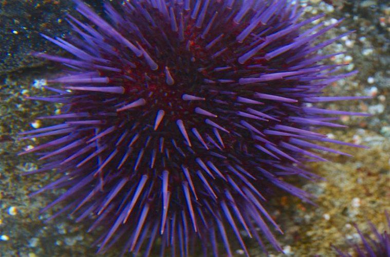 Sea urchins defy ageing