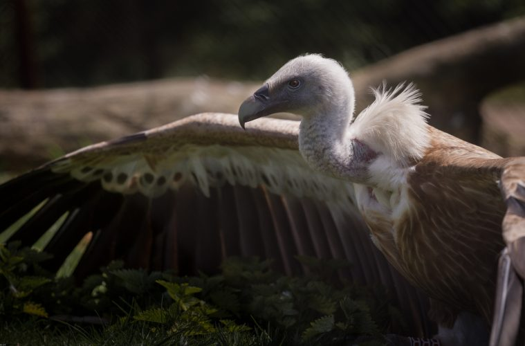 Europe's vultures at risk