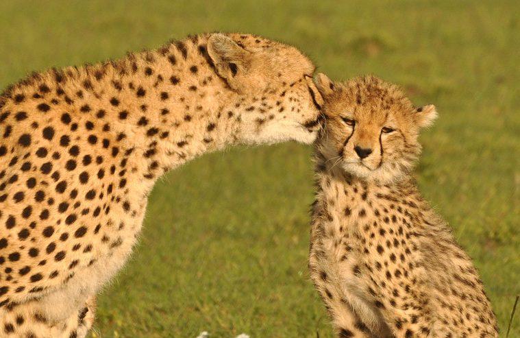 Cheetah conservation new approach