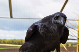 Corvid intelligence